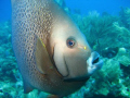   Gray Angelfish came swimming straight me. had enough time raise my camera snap one picture. Timing everything. me picture everything  